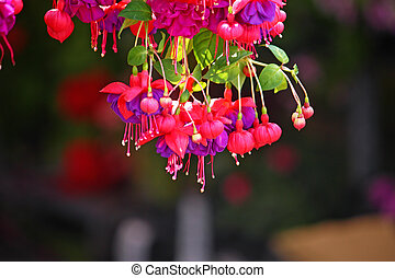 Fuchsia - Red flowers of fuchsia on dark background