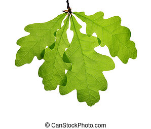 Spring leaves of oak tree isolated on white background