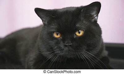 Black British cat with orange eyes huns for a toy