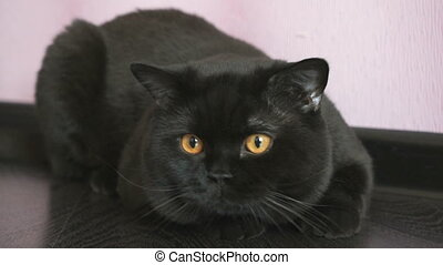 Black British cat with orange eyes huns for a toy - Pretty...