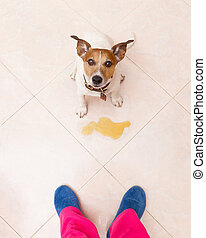 dog pee owner at home - jack russell dog being punished for...