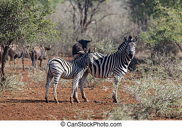 Young zebra with mum - Young zebra and her mother standing...