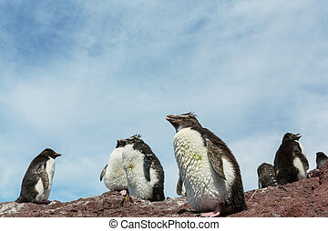 Rockhopper penguins in Southern Argentina