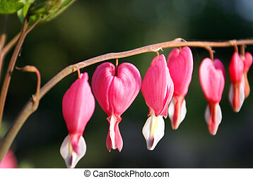 Bleeding Heart Flower - A closeup shot of a bleeding heart...