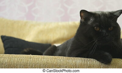 Black British cat with orange eyes huns for a toy - Black...