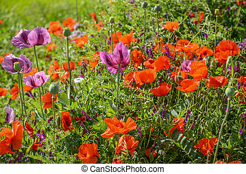 Cultivation of poppies Papaver rhoeas on the field near...