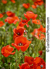 Cultivation of poppies (Papaver rhoeas) on the field near...