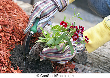 Planting Flowers - A gardener plants some flowers in the...