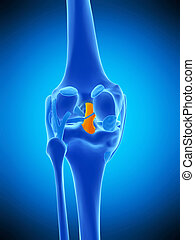 the posterior cruciate ligament - medically accurate...