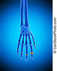the medial joint capsules - medically accurate illustration...