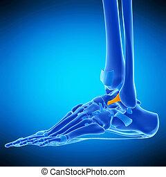 the anterior talofibular ligament - medically accurate...