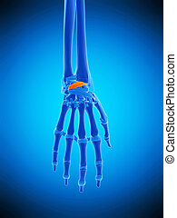 the dorsal radiocarpal ligaments - medically accurate...