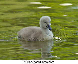 Cygnet on water