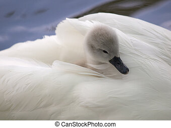 Cygnet nestling in mothers feathers