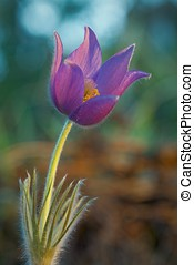 Pulsatilla Patens - Spring Flower Pulsatilla Patens growing...