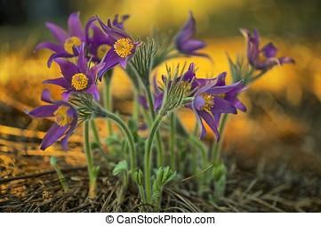 Pulsatilla Patens - Spring Flowers Pulsatilla Patens growing...