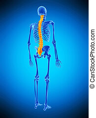 the spine - medically accurate illustration of the spine