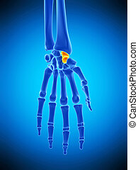 the scaphoid bone - medically accurate illustration of the...