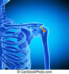 the transverse humeral ligament - medically accurate...