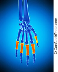 the proximal phalanges bones - medically accurate...