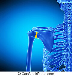 the glenohumeral ligament - medically accurate illustration...