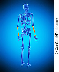 the skeletal lower arms - medically accurate illustration of...