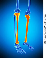 the tibia - medically accurate illustration of the tibia