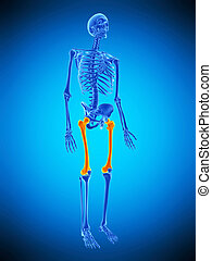 the skeletal upper legs - medically accurate illustration of...