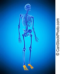 the skeletal foots - medically accurate illustration of the...