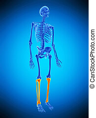 the skeletal legs - medically accurate illustration of the...