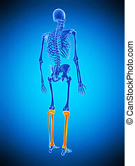the skeletal lower legs - medically accurate illustration of...