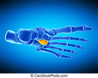 the lateral cuneiform bone - medically accurate illustration...