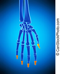 the distal phalanges bones - medically accurate illustration...