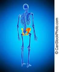 the hip - medically accurate illustration of the hip