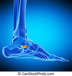 the calcaneonavicular ligament - medically accurate...