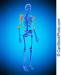 the skeletal humerus - medically accurate illustration of...