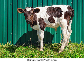 Young calf standing alone at fence background. Black and...