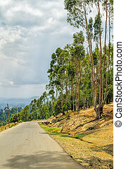 Tall Eucalyptus trees of Entoto, Addis Ababa - Tall...