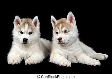 Siberian husky dog puppy - Two Little cute puppy of Siberian...