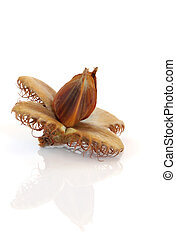 Beech Nut - Beech nut isolated over white background with...