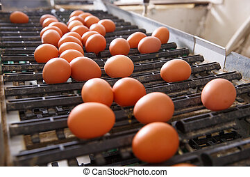 Fresh and raw chicken eggs on a conveyor belt, being moved...
