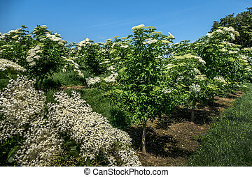 blooming flowers of elderberry on a hollunderstrauch -...