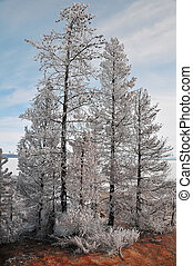 Frost covered trees in hot spring