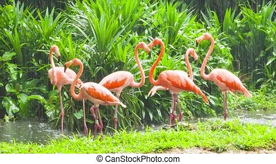 Pink flamingo in zoo - Pink flamingo at rainy weather in...