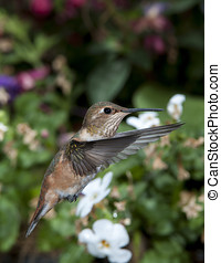 Female Rufous Hummingbird (Selasphorus rufus) in flight