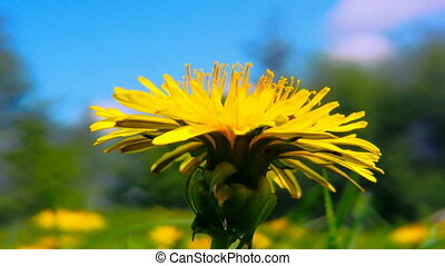 dandelion flowers close up shot 2