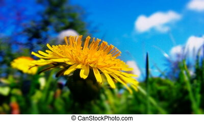 dandelion flowers close up shot 3