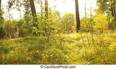 Sunny autumn forest and fallen leaves, back view, smooth steadicam shot