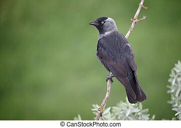 Jackdaw, Corvus monedula, single bird on branch, Hungary,...