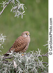 Kestrel, Falco tinnunculus, single female on branch,...